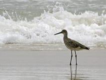Un willet (type de bécasseau) marche dans l'eau la vague déferlante d'océan Images libres de droits