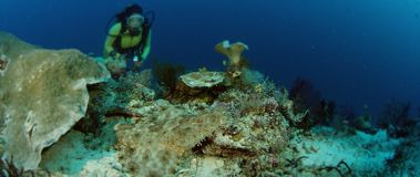 Un wobbegong Tasseled stock footage