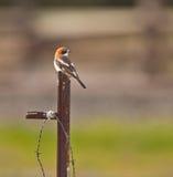 Un Woodchat Shrike sur un poteau en métal photo libre de droits