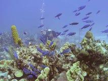 Un Wrasse de Watches Schooling Creole de plongeur autonome image stock