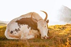 Un yak davanti alla montagna della neve Fotografia Stock