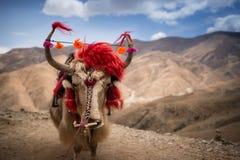 Un yak tibetano con fondo roccioso fotografia stock libera da diritti