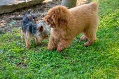 Un yorkie e Toy Poodle fotografie stock libere da diritti