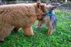 Un yorkie e Toy Poodle fotografia stock