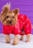 Un Yorkshire terrier in camici rossi Fotografia Stock
