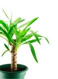 Un yucca isolato Fotografia Stock