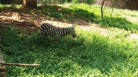 Un zèbre dans le zoo de Patna photographie stock