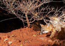 Un zorro gris sale de la noche oscura debajo de una cerca del alambre de púas y de un arbusto desnudo del invierno bajo foto de archivo libre de regalías