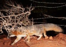 Un zorro gris trota debajo de los alambres de una cerca del alambre de púas y de las ramas de un arbusto desnudo del invierno en  fotos de archivo libres de regalías