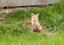 Un zorro joven Foto de archivo libre de regalías