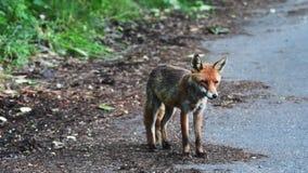 Un zorro masculino con un ojo herido se está colocando en el borde de la carretera almacen de metraje de vídeo