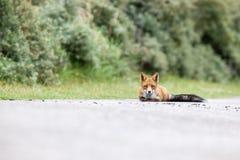 Un zorro rojo Foto de archivo libre de regalías