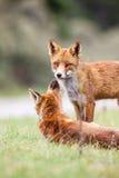 Un zorro rojo Fotografía de archivo