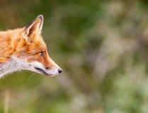 Un zorro rojo Imagenes de archivo