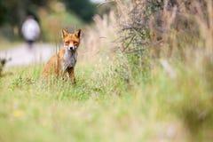 Un zorro rojo Imagen de archivo