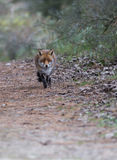 Un zorro rojo común Foto de archivo