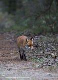 Un zorro rojo común Imágenes de archivo libres de regalías