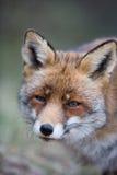 Un zorro rojo común Imagen de archivo