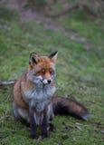 Un zorro rojo común Imagen de archivo libre de regalías