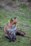 Un zorro rojo común Fotos de archivo libres de regalías