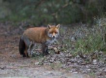 Un zorro rojo común Imagenes de archivo