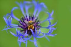Un zumbido de Bumblebbe alrededor de la flor que visita Imagen de archivo libre de regalías
