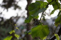 Una última ducha de lluvia de primavera cae sobre las vides de uva Fotos de archivo