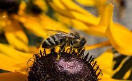 Una abeja áspera en una flor 19 Fotos de archivo