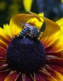 Una abeja áspera en una flor Imagen de archivo