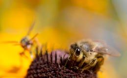Una abeja áspera y una avispa viene en una flor Foto de archivo