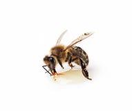 Una abeja Fotos de archivo libres de regalías