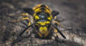 Una abeja Fotografía de archivo