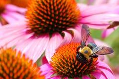 Una abeja acomete para cosechar el polen de diverso Echina Foto de archivo libre de regalías