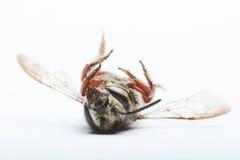 Una abeja al revés Fotografía de archivo