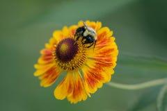 Una abeja alimenta en el polen de la flor roja y amarilla Fotografía de archivo libre de regalías