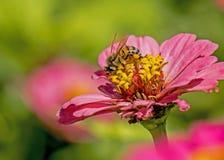 Una abeja alimenta en un Zinnia rosado Fotografía de archivo