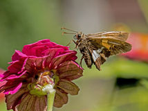 Una abeja alimenta en un Zinnia rosado Imagen de archivo libre de regalías