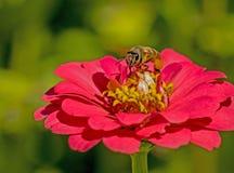 Una abeja alimenta en un Zinnia rosado Imagenes de archivo