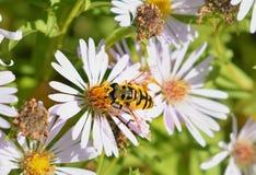 Una abeja amarilla se sienta en una flor Imágenes de archivo libres de regalías