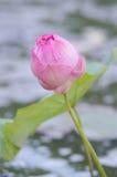 Una abeja asoma sobre una flor de Lotus en Tailandia Foto de archivo