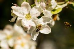Una abeja asoma sobre una flor del manzano Imágenes de archivo libres de regalías