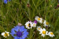 Una abeja aterrizó en una margarita en un campo de las flores salvajes del país y de p Foto de archivo