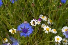 Una abeja aterrizó en una margarita en un campo de las flores salvajes del país y de p Fotografía de archivo