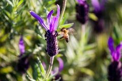 Una abeja aterriza en una flor del romero Imágenes de archivo libres de regalías