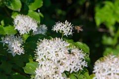 Una abeja cerca de la flor blanca Fotos de archivo libres de regalías