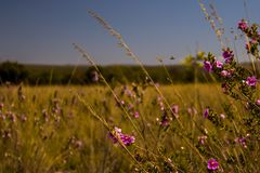 Una abeja cerca de las flores del Cerrado de la altitud, en Diamantina, en busca de un poco polen, así ayudando a fertilizar las  imágenes de archivo libres de regalías