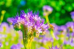 Una abeja cerca de una flor azul Imagenes de archivo
