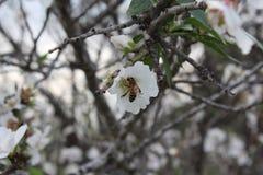 Una abeja chupa el néctar de la flor del árbol de almendra Fotos de archivo libres de regalías