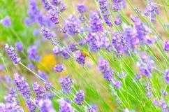 Una abeja con lavanda Imagen de archivo libre de regalías