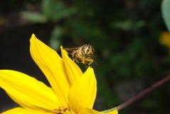 Una abeja con polen por todo sí mismo Imagenes de archivo